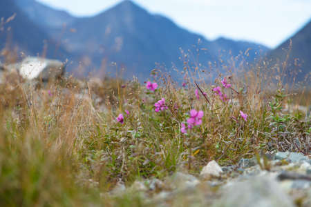 alpine tundra: Wild flowers blooming in the tundra in a dry river bedding Stock Photo