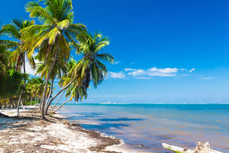 bent over: Palm tree bent over the ocean, Dominican Republic