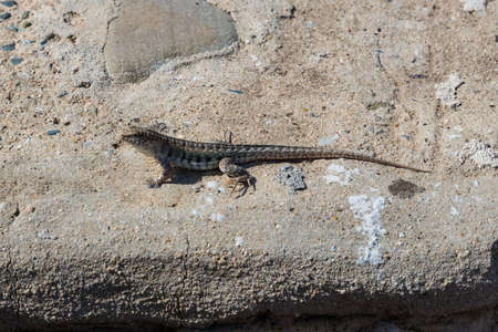 long toes: little lizard with long tail on the rock in nature detail photo.