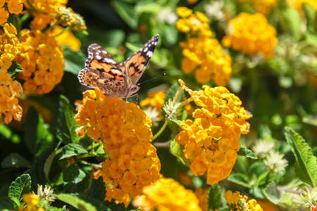metamorphosis: Beautiful Plain Tiger butterfly perching on yellow flower.