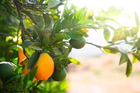 Close up of orange trees in the garden, selective focus. Stock fotó
