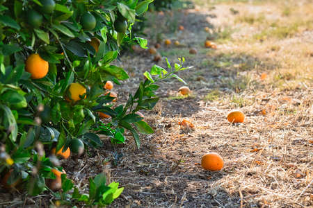 Close up of orange trees in the garden, selective focus. Stock Photo