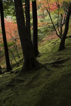 moss: Dark autumn forest with Japanese Maple trees and moss covered ground. Stock Photo