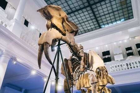 """Bucharest, Romania - Dec 15, 2019: Exhibition in the """"Grigore Antipa"""" National Museum of Natural History in Bucharest, Romania. The deinotherium giganteum fossil on display i"""