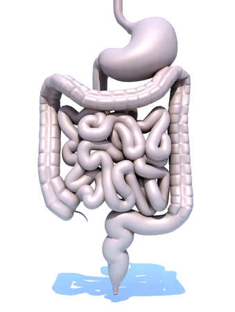 intestines: intestines and stomach, 3d model visualization