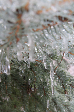 Pine on ice photo