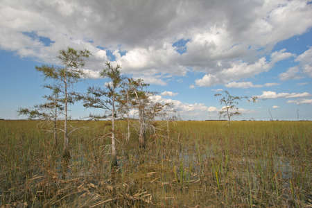 Cypress Trees in an expanse of sawgrass in Everglades National Park, Florida.