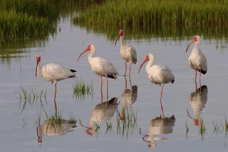 White Ibis, Eudocimus alba, feeding on the tidal flats of Fort De Soto State Park, Florida.