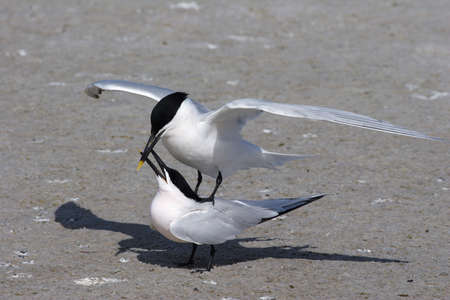 Sandwich Terns, Thalasseus sandvicensis, engaged in courtship and mating behavior on the beach at Fort De Soto State Park, Florida.