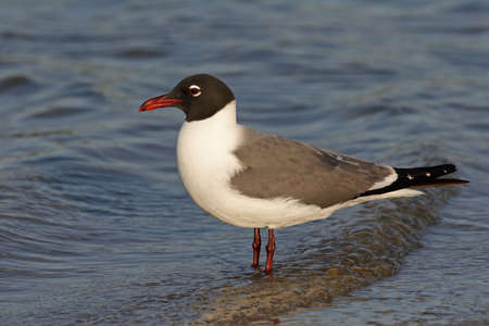 Laughing Gull, Leucophaeus atricilla, in shallow water on Fort De Soto State Park, Florida. 免版税图像