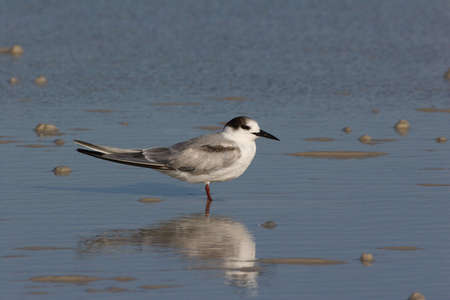 Roseate Tern, Sterna dougallii, on the beach in Fort De Soto State Park, Florida.