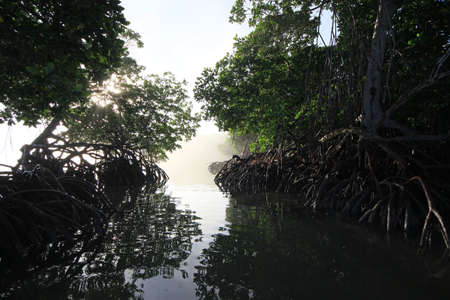 Mangrove trees on a calm, foggy morning in Bear Cut off Key Biscayne, Florida.