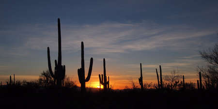 Saguaro cacti, Carnegiea gigantea, silhouetted against the sunset sky in Saguaro National Park near Tucson, Arizona. 免版税图像