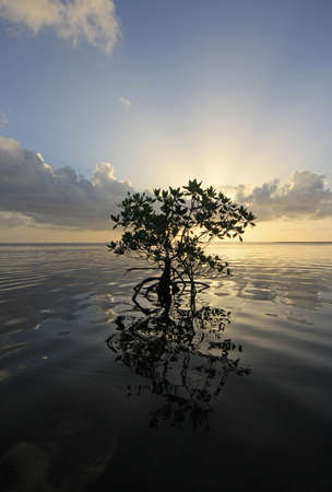 Lone Mangrove in partial silhouette and its reflection on the calm water of Card Sound, Florida.