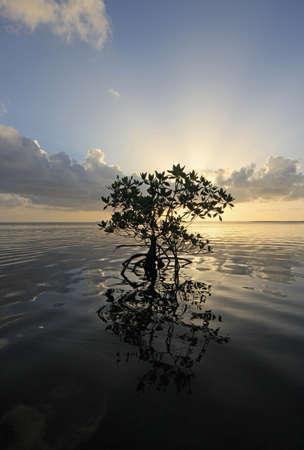 Lone Mangrove in silhouette parziale e il suo riflesso sull'acqua calma di Card Sound, Florida.