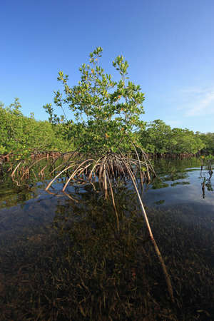 Mangrove trees with prominent roots in the shallows of Card Sound, Florida in early morning light. Stock Photo