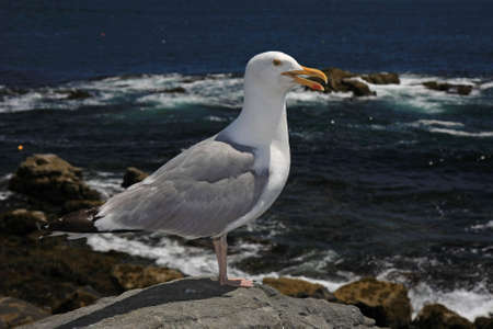 A very cooperative Seagull on the rocks of Acadia National Park, Maine, with the ocean and sky in the background.
