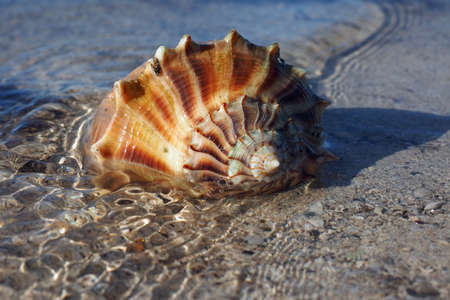 Live Lightning Whelk on exposed tidal flat at extreme low tide on East Cape Sable in Everglades National Park, Florida.