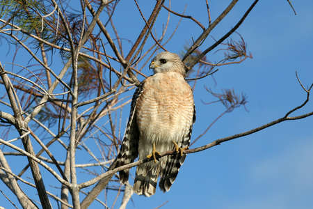 Red-shouldered Hawk , Buteo lineatus, in a cypress tree in Everglades National Park, Florida.