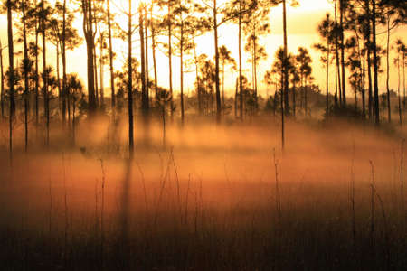 Backlit fog at sunrise in the pinelands of Everglades National Park, Florida
