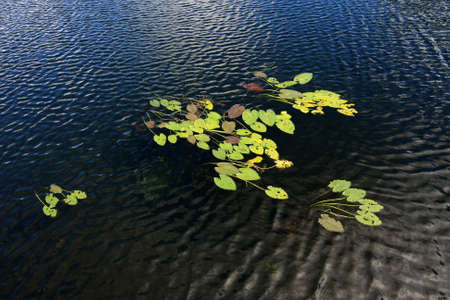 Lily Pads of the Anhinga Trail in Everglades National Park, Florida.