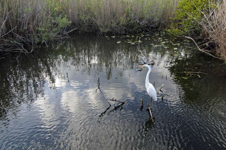 Great Egret, Ardea alba, in small pond on the Anhinga Trail in Everglades National Park, Florida.
