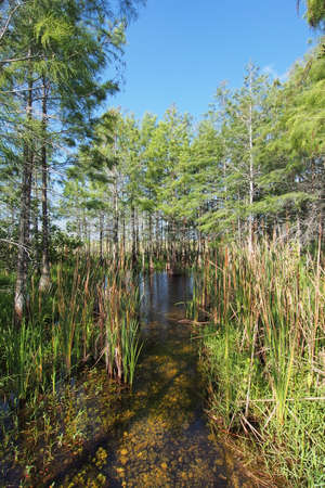 Cattails and cypress trees thriving at a culvert in Everglades National Park, Florida. 版權商用圖片