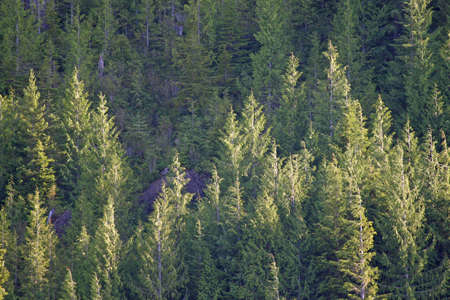 Evergreen trees on the shore of the Inside Passage, Alaska in afternoon light. Standard-Bild
