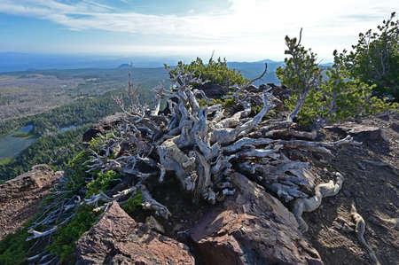 Gnarled white roots and branches of long dead tree at end of Tam McArthur Rim Trail in Three Sisters Wilderness near Sisters, Oregon. Фото со стока