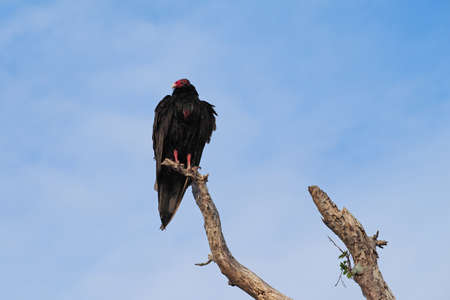 Turkey Vulture - Cathartes aura - perched on dry branch against a blue cloudscape in everglades National Park, Florida.