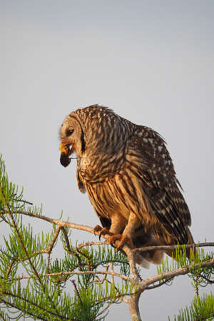 Barred Owl, Strix varia, perched in Cypress Tree eating crayfish in Everglades National Park, Florida in early spring.