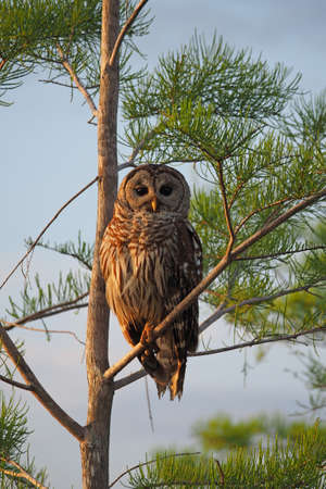 Barred Owl - Strix varia - perched on branch of Bald Cypress Tree in Everglades National Park, Florida. Stock Photo