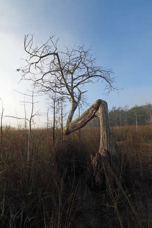 Bent Cypress Tree in early morning fog in Dwarf Cypress Forest of Everglades National Park, Florida in winter.