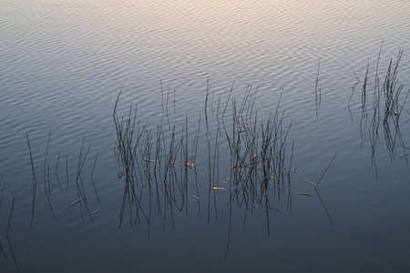 Reeds in water at sunrise in Nine Mile Pond in Everglades National Park, Florida. 版權商用圖片