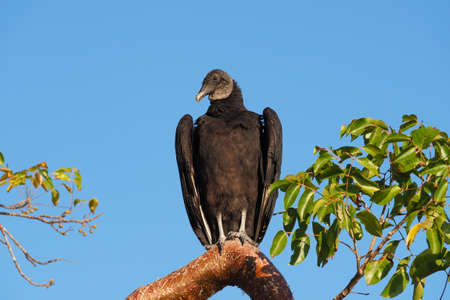 Black Vulture - Coragyps atratus - perched on Gumbo Limbo tree in Everglades National Park, Florida with clear blue background.