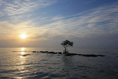 Dwarf Mangrove Tree on Fossilized Reef in Bear Cut off Key Biscayne, Florida at sunrise on calm April morning.