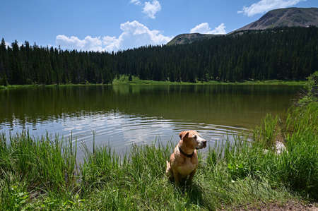 Large dog on shore of Hassell Lake in Arapaho National Forest, Colorado on sunny summer afternoon.