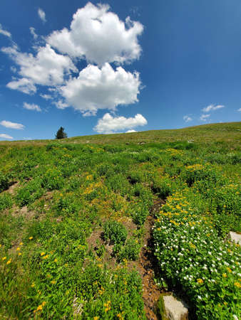 Alpine tundra flowers on Rollins Pass in Indian Peaks Wilderness and Arapaho National Forest, Colorado on sunny afternoon under bright white clouds. Stock Photo