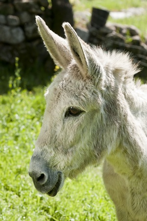 Portrait of a Smilling Donkey on the country-side
