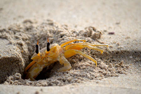 A ghost crab  Ocypode  hiding in the sand on Nilaveli beach  Trincomalee region , Sri Lanka