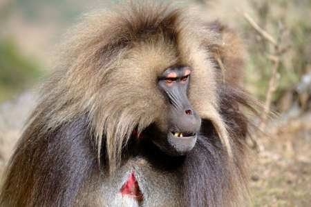 Close-up of a adult gelada baboon in his natural habitat, the Simien Mountains National Park, Ethiopia