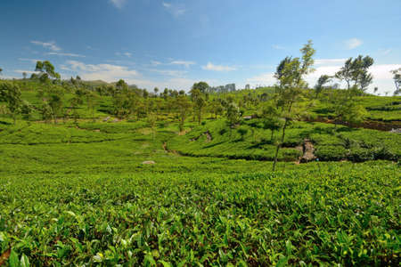 Wide angle shot of a Vivid green tea crop in Haputale, Sri Lanka Stock Photo - 16435547