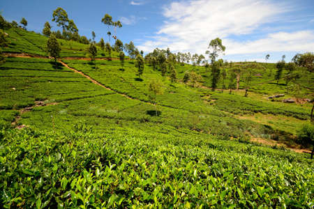 Wide angle shot of a vivid green tea crop in Haputale, Sri Lanka Stock Photo - 16435548