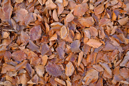 Close up of the ground covered by reddish-brownish beech leaves in soft focus and uniform natural light  Natural patterns, backgrounds  photo