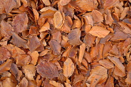 Close up of reddish-brownish beech leaves covering the ground in uniform light  Can be used as natural pattern, texture, background  photo