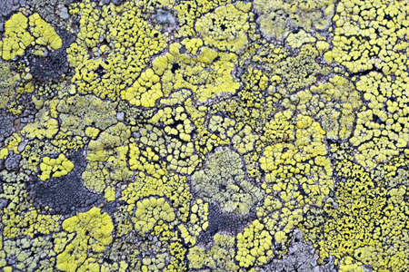 Close up of yellow  Map Lichens   Rhizocarpon geographicum  covering rock surface, that can be used as natural background, pattern, texture or as a symbol of uncontaminated environment  Stock Photo