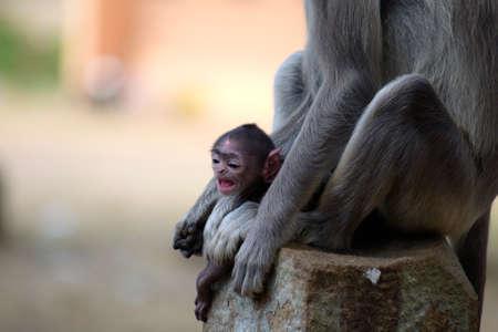 gray langur: Close up of Grey Langur baby Monkey in Anuradhapura, Sri Lanka