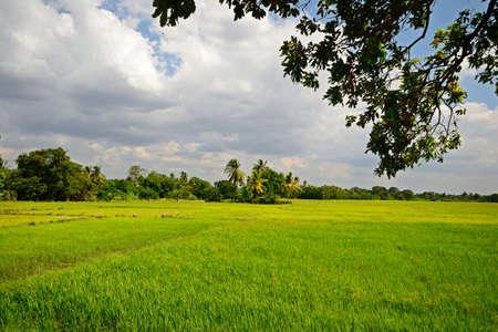 anuradhapura: Bright green rice field and moody sky in Anuradhapura, Sri Lanka Stock Photo