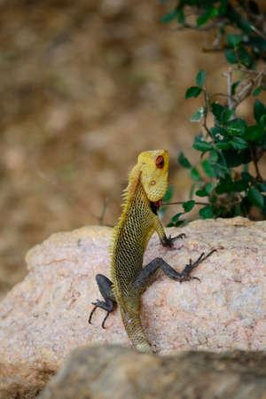 Colorful iguana on a stone, Sri Lanka Stock Photo - 17076129