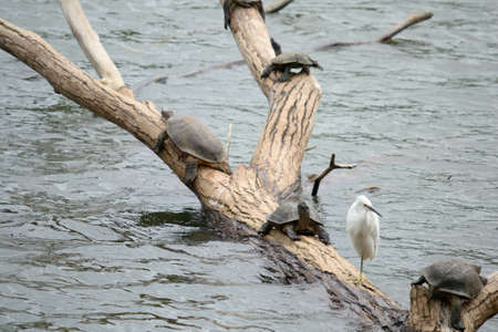 Little Egret and aquatic turtles on braches over Kandy s lake, Sri Lanka photo